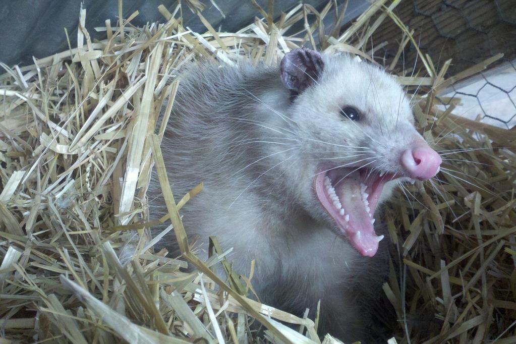 opossum-309264_1280