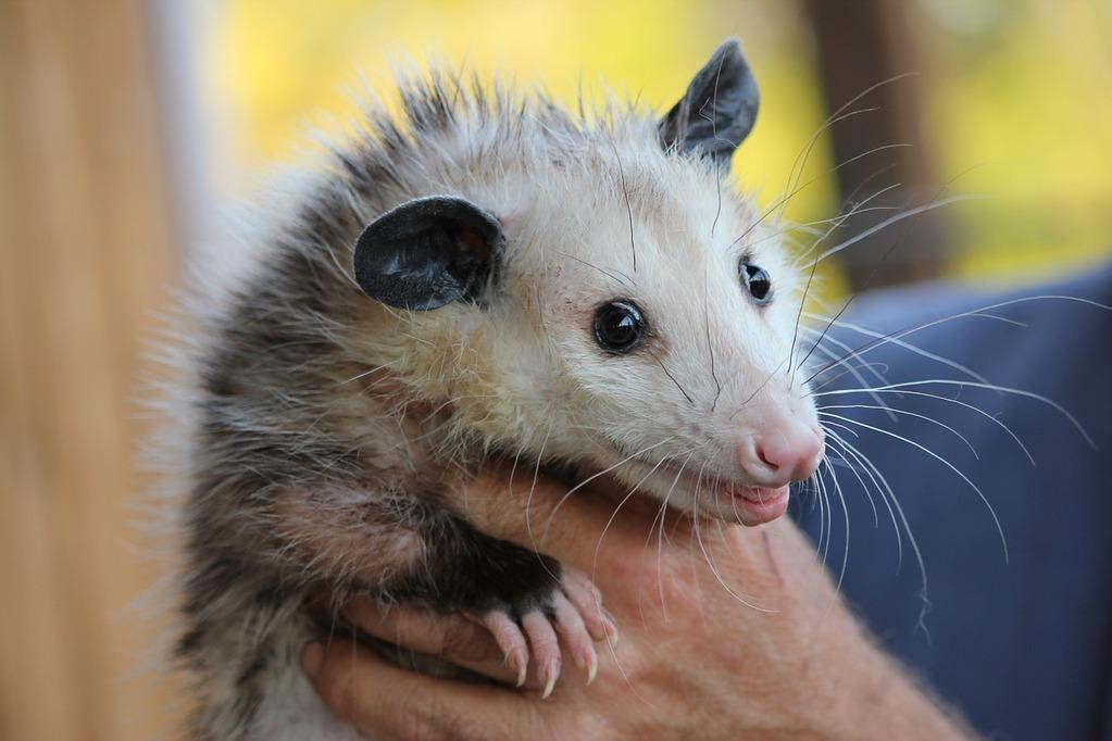 possum-478162_1280