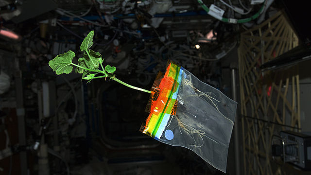 ISS 30 Zucchini plant in the Destiny lab