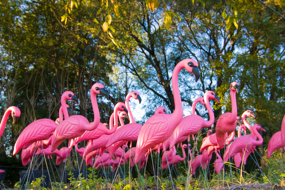 Plastic pink flamingos standing in a yard.